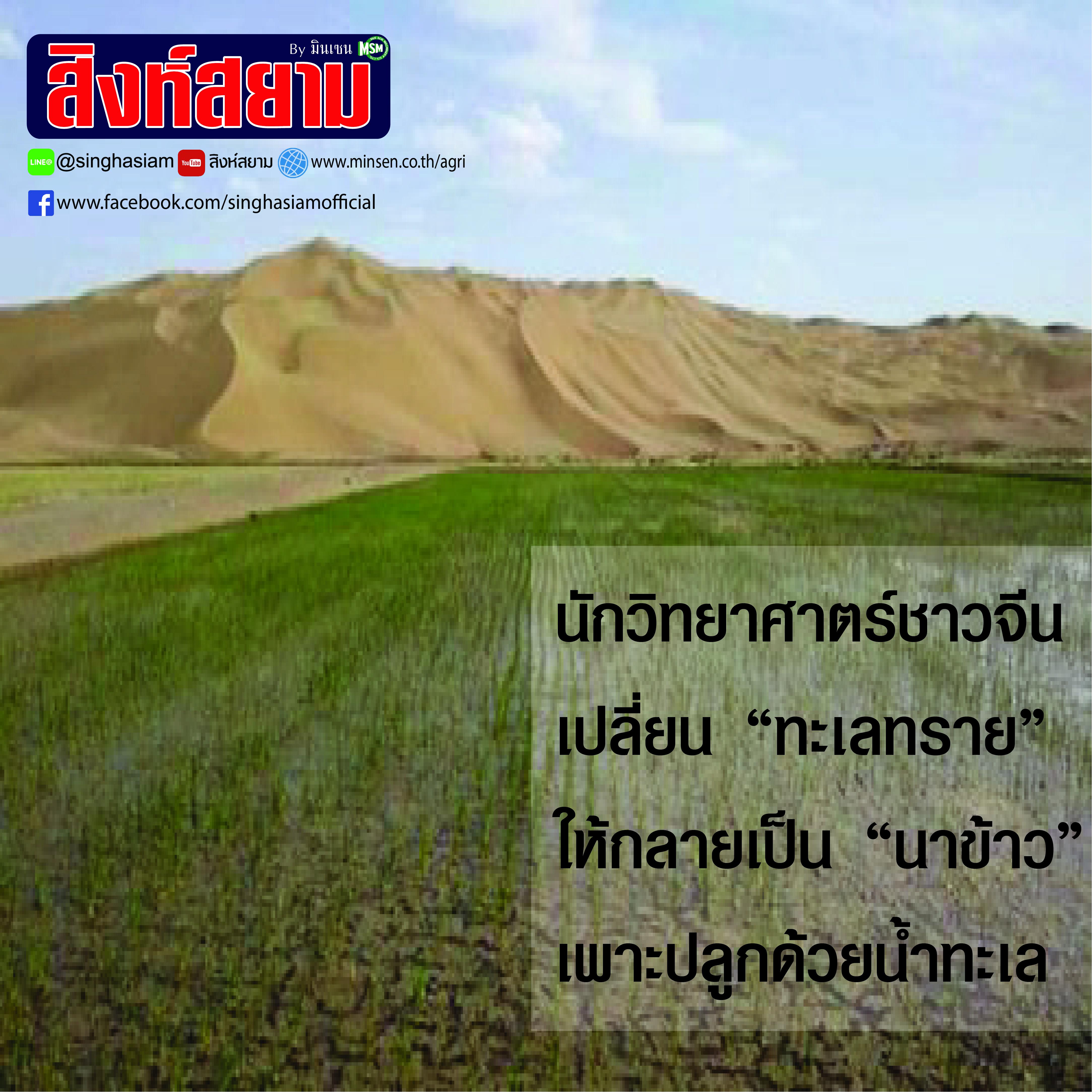 นักวิทยาศาสตร์ชาวจีนเปลี่ยนทะเลทรายให้เป็นนาข้าว