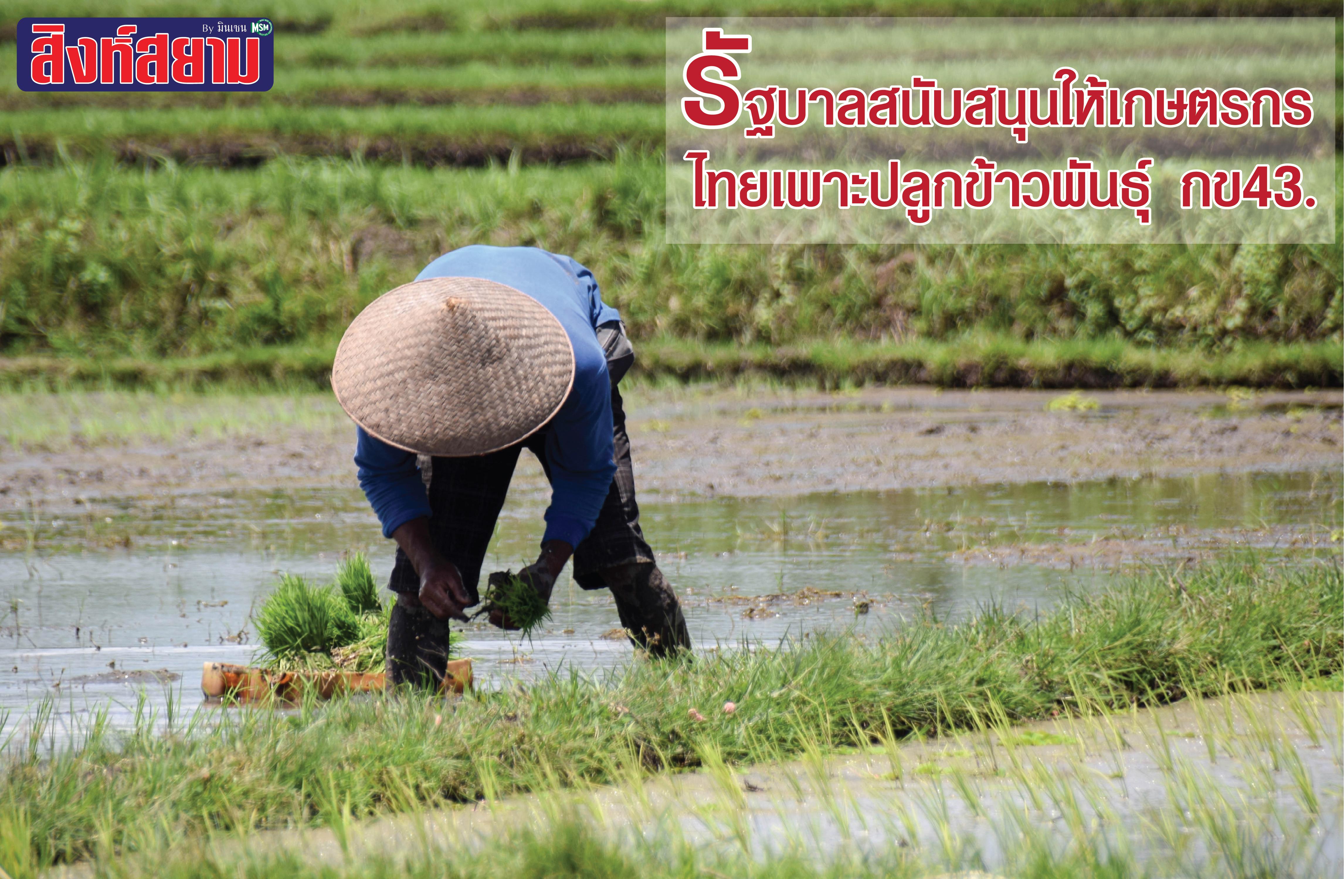 รัฐบาลไทยหนุนเกษตรกรปลูกข้าวพันธุ์กข43